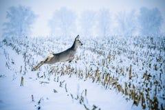 Милое roedeer скача над аграрным полем покрытым со снегом стоковое изображение rf
