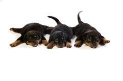 милое rottweiler 3 щенят Стоковое фото RF