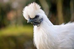 Милой представлять Silkie увиденный курицей для камеры в этом изображении конца-вверх одной из пары цыплят свободно-ряда держал д стоковые фотографии rf