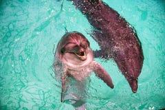 Милые дельфины в бассейне в dolphinarium Стоковая Фотография RF