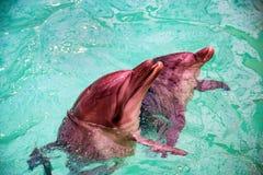 Милые дельфины в бассейне в dolphinarium Стоковые Фотографии RF