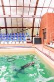 Милые дельфины в бассейне в dolphinarium Стоковые Изображения RF