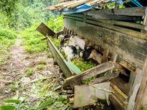Милые и смешные козы ребенк полагаясь своя голова вне для того чтобы пересечь барьер деревянного укрытия для того чтобы иметь нек стоковое изображение