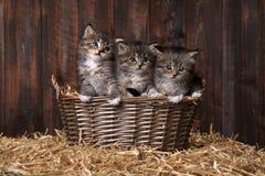 Милые котята с соломой в амбаре Стоковые Изображения RF