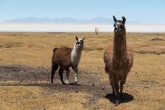 Милые ламы Altiplano стоковое изображение