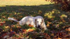 Милые любимчики - красивый золотой retriever обгрызает на ручке в упаденной листве осени видеоматериал