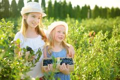 Милые маленькие сестры выбирая свежие ягоды на органической ферме голубики на теплый и солнечный летний день Свежие здоровые нату стоковое фото