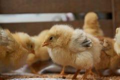 Милые маленькие цыплята бройлера едят зерно, конец-вверх стоковое изображение rf