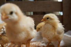 Милые маленькие цыплята бройлера едят зерно, конец-вверх стоковые изображения rf