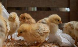 Милые маленькие цыплята бройлера едят зерно, конец-вверх стоковые изображения