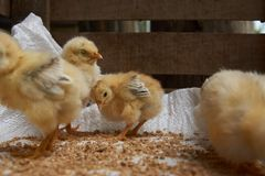 Милые маленькие цыплята бройлера едят зерно, конец-вверх стоковое фото