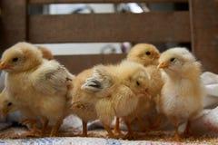 Милые маленькие цыплята бройлера едят зерно, конец-вверх стоковая фотография