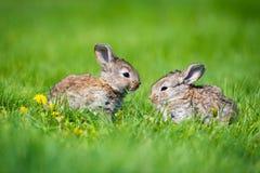 Милые 2 меньших зайца сидя в траве Живописная среда обитания, жизнь в луге Стоковое Изображение