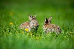 Милые 2 меньших зайца сидя в траве Живописная среда обитания, жизнь в луге Стоковое фото RF