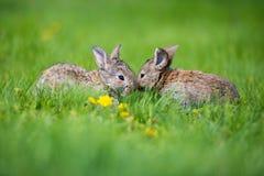 Милые 2 меньших зайца сидя в траве Живописная среда обитания, жизнь в луге Стоковые Фотографии RF