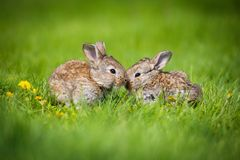 Милые 2 меньших зайца сидя в траве Живописная среда обитания, жизнь в луге Стоковое Фото