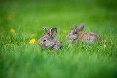 Милые 2 меньших зайца сидя в траве Живописная среда обитания, жизнь в луге Стоковая Фотография