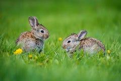 Милые 2 меньших зайца сидя в траве Живописная среда обитания, жизнь в луге Стоковые Фото