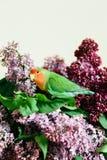 Милые неразлучники попугая сидя на букете сирени стоковое изображение rf