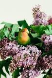 Милые неразлучники попугая сидя на букете сирени стоковое изображение