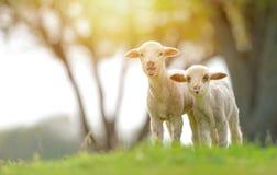 Милые овечки на поле весной стоковое изображение rf