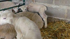 Милые овечки на ручке акции видеоматериалы