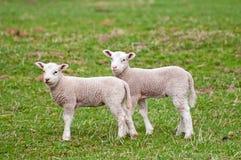 милые овечки Стоковое Фото