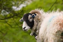 Милые овцы Swaledale стоковые фотографии rf