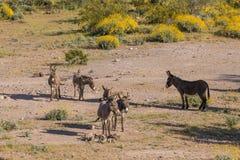Милые одичалые Burros в пустыне Стоковые Фото