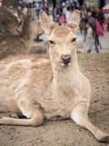 Милые олени в Nara паркуют, город Nara, Япония Стоковое Фото