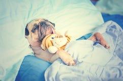 Милые остатки спать собаки мопса щенка в обруче кровати с одеялом с t стоковое изображение rf