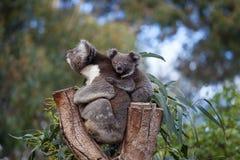 Милые пары обнимать австралийской матери медведей коалы и своего младенца спать на дереве эвкалипта стоковое фото rf