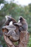 Милые пары обнимать австралийской матери медведей коалы и своего младенца спать на дереве эвкалипта стоковые фотографии rf