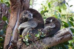 Милые пары обнимать австралийской матери медведей коалы и своего младенца спать на дереве эвкалипта стоковые изображения rf