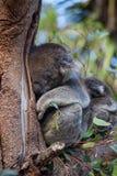 Милые пары обнимать австралийской матери медведей коалы и своего младенца спать на дереве эвкалипта стоковое изображение rf