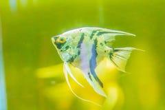 Милые рыбы angelfish (Pterophyllum), малый род пресноводного Стоковые Изображения RF