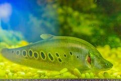Милые рыбы featherback клоуна (ornata Chitala), также знают как клоун Стоковое Фото