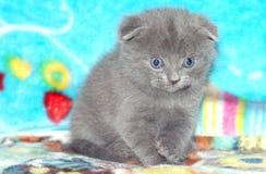 Милые серые Scottish складывают котенка на голубой софе Стоковая Фотография