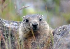 милые детеныши marmot Стоковое Изображение RF