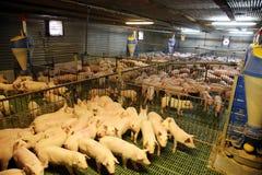 Милые newborn поросята живя на промышленном скотном дворе Стоковое Изображение
