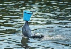 Милый афалин играя с голубым ведром стоковое изображение rf