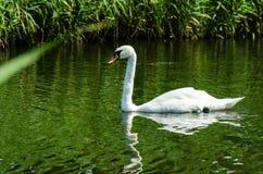 Милый белый лебедь на озере Стоковые Изображения