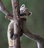 Милый Бел-обнюханный Coati Стоковое фото RF