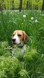 милый бигль в траве стоковое фото