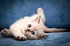 Милый великобританский цвет пункта уплотнения котенка BRI n 33 с голубыми глазами смешными кладет вниз стоковые фото