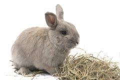 Милый декоративный серый цвет кролика при сено изолированное на белой предпосылке Стоковые Фото