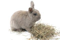 Милый декоративный серый цвет кролика при сено изолированное на белой предпосылке Стоковая Фотография