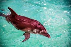 Милый дельфин в бассейне в dolphinarium Стоковые Фото