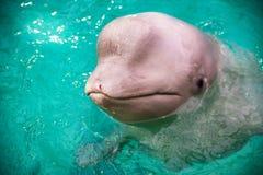 Милый дельфин в бассейне в dolphinarium Стоковое Фото