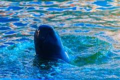 Милый дельфин Irrawaddy (brevirostris Orcaella) плавает в th стоковое изображение rf